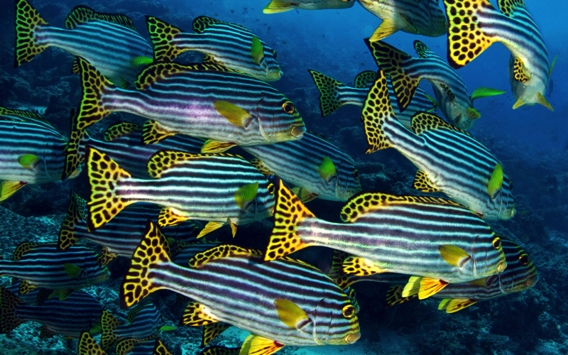Dive Sites in Mauritius - Sweetlips