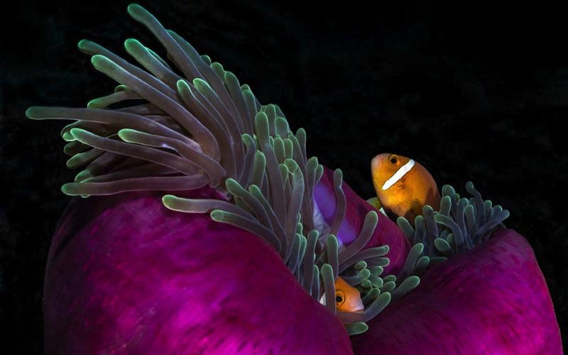 Dive Sites in Mauritius - Anenome Garden