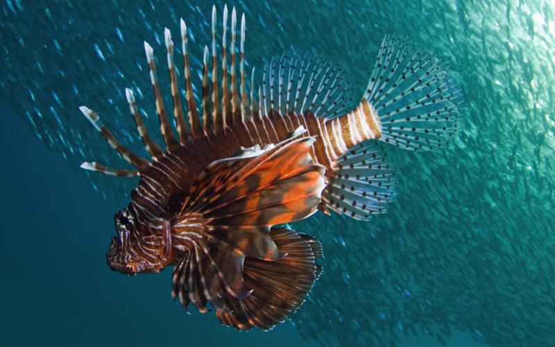Dive Sites in Mauritius - Lion Fish