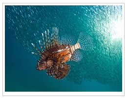 Types of Fish from Mauritius - Lion Fish