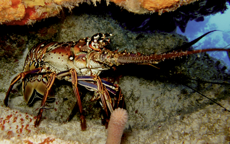 Dive sites in Mauritius - Lobster