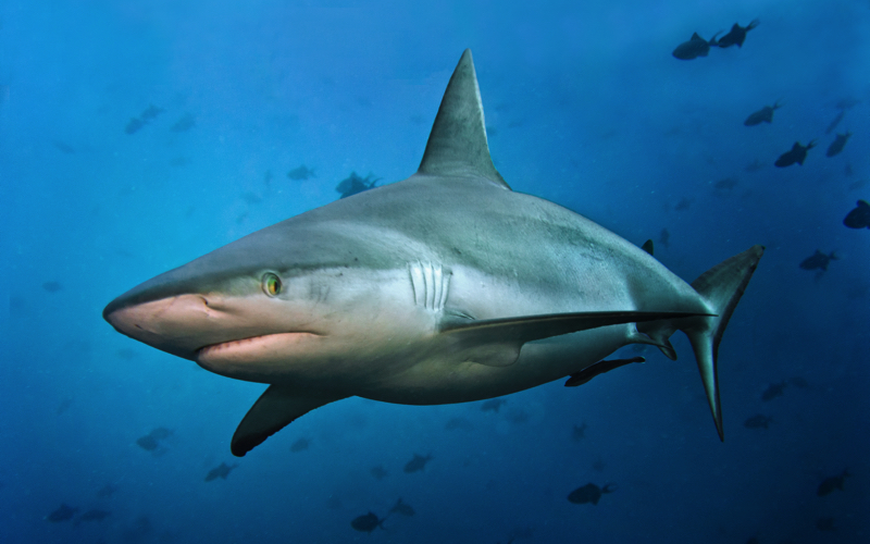 Dive Sites in Mauritius- Reef shark