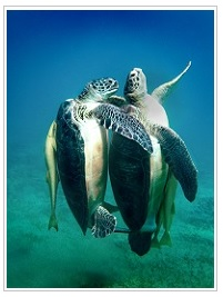Turtles seen at dive sites in mauritius