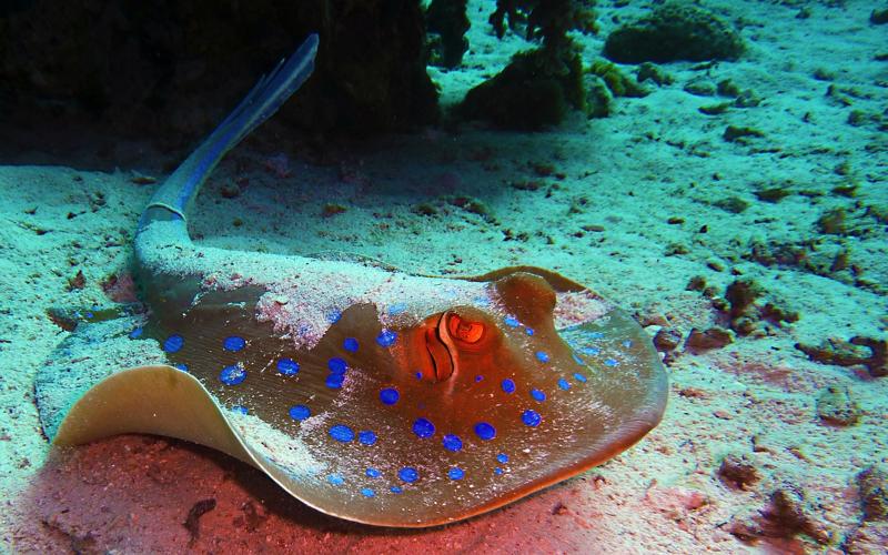 Dive Sites in Mauritius - Stingray