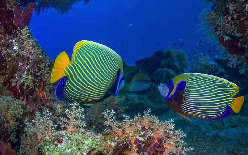 Dive sites in Mauritius - Stenopus