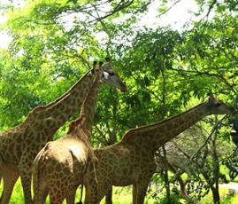 Giraffes at casela world of adventures