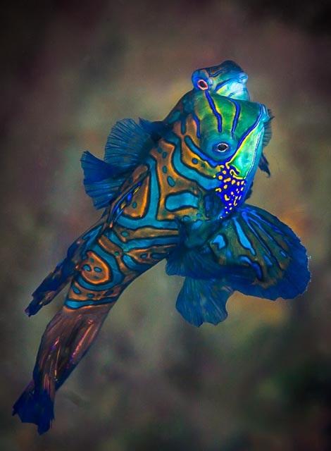Types of Fish from Mauritius - Mandarin Fish