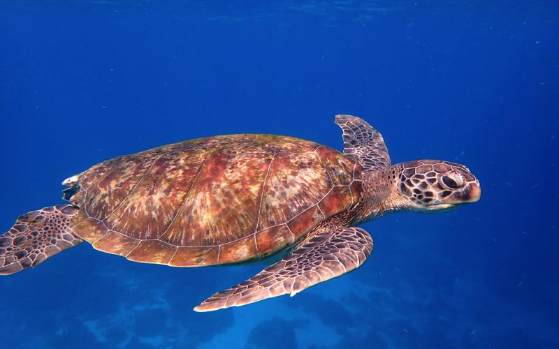 Dive Sites in Mauritius - Turtles