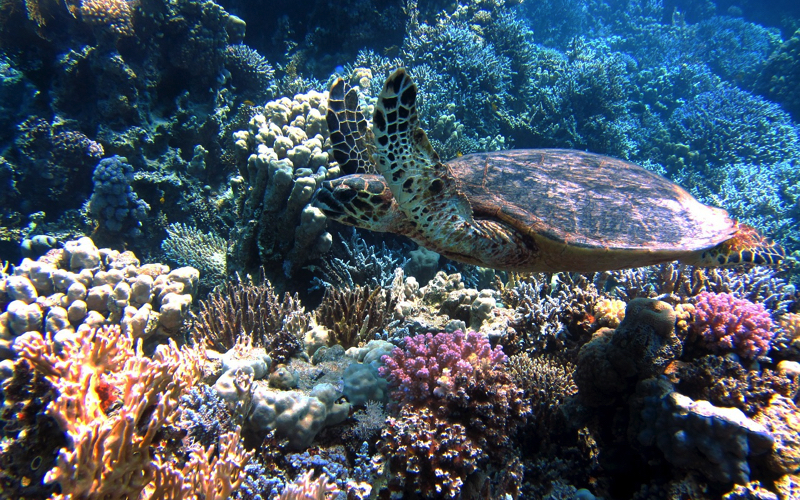 Turtle over corals at Blue Bay Marine Park