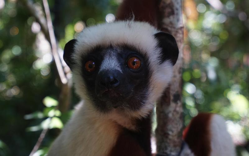 Lemur at La Vanille Nature Park, Mauritius