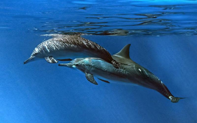 Dolphins at Tamarin Mauritius
