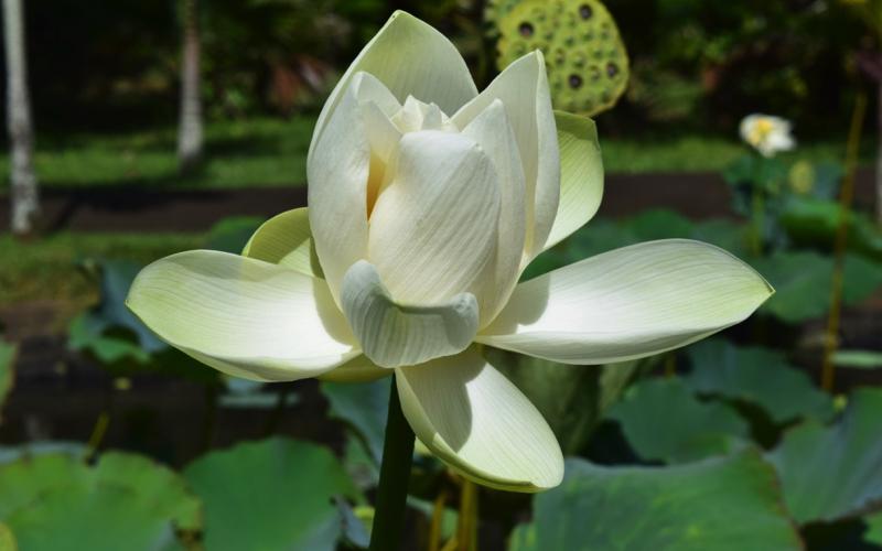 Lotus flower - Botanical Gardens Mauritius