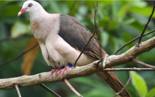 Pink Pigeon in tree