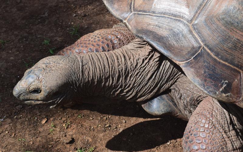 Giant tortoise on Ile aux Aigrettes