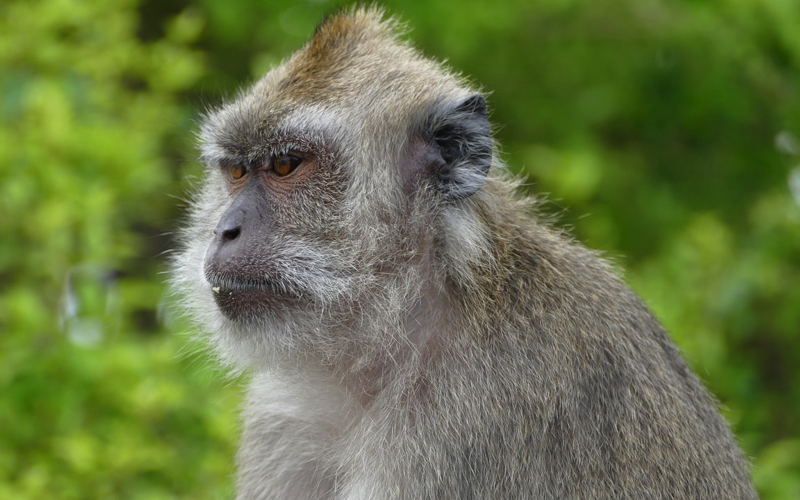 Macaque monkey in Mauritius