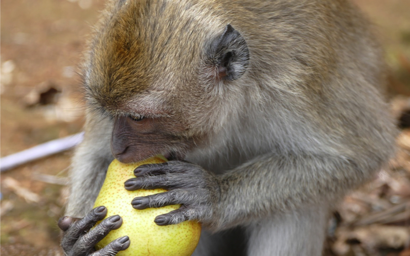 Monkey in Mauritius eating fruit