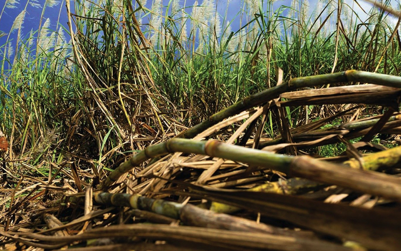Sugar Cane in Mauritius
