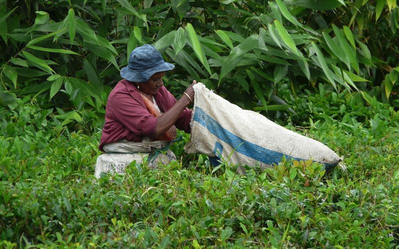 Collecting Tea in Mauritius